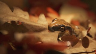 Invisible Nature: Return of the Wood Frog