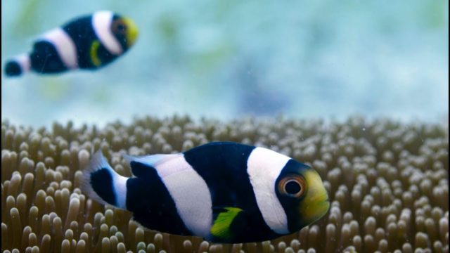 Incredible Teamwork From Little Clownfish – Blue Planet II