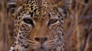 A leopard stalks an impala from the cover of a gully