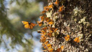 Visiting the Reserva de la Biósfera Santuario Mariposa Monarca