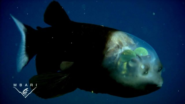 The strange and amazing barreleye fish (Macropinna microstoma)