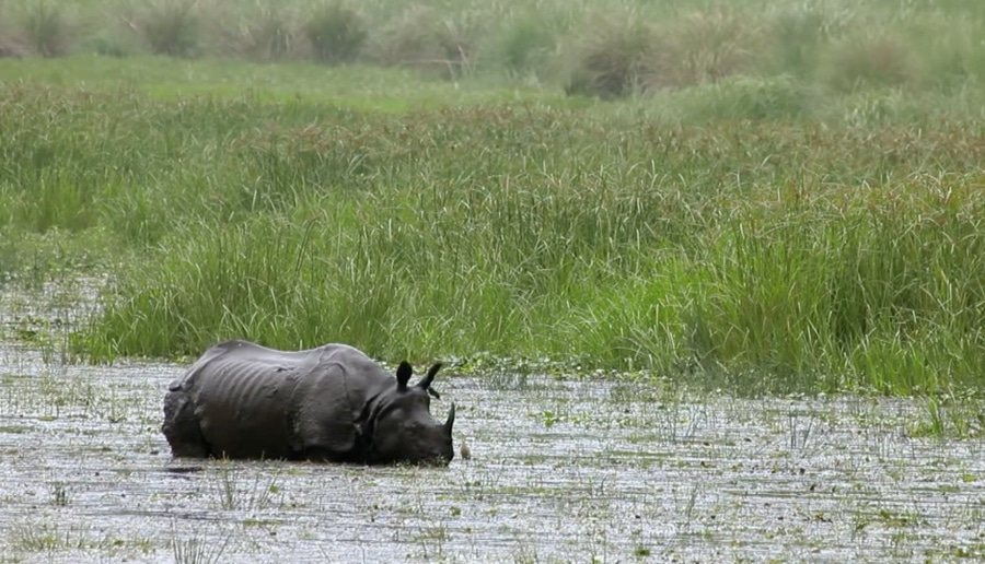 Searching for the rare 'unicorn' rhino in Nepal's Chitwan National Park