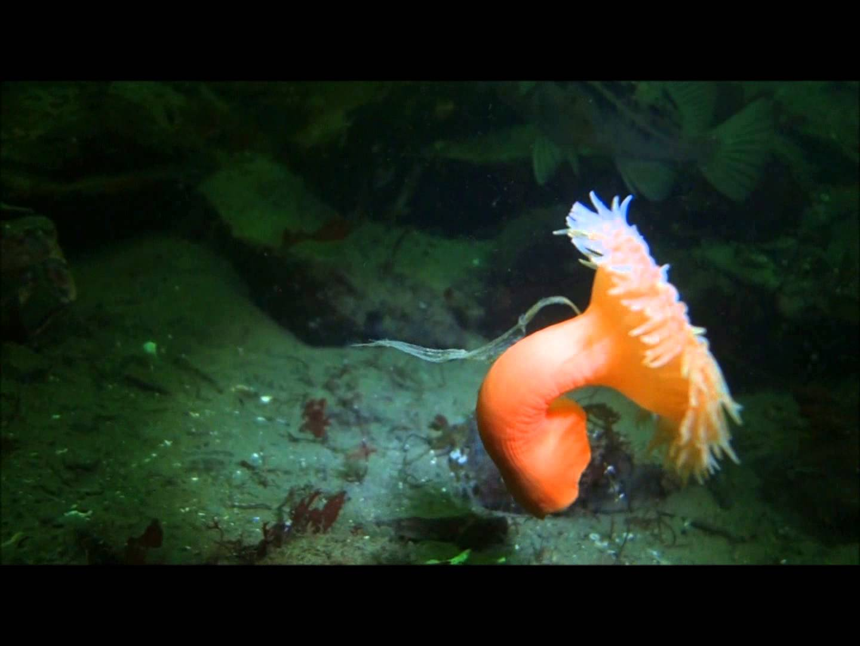 Ananomie Videos the stomphia coccinea sea anemone can swim | the kid should see this