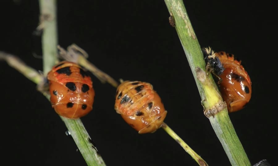 A Ladybug Life Cycle Time Lapse The Kid Should See This